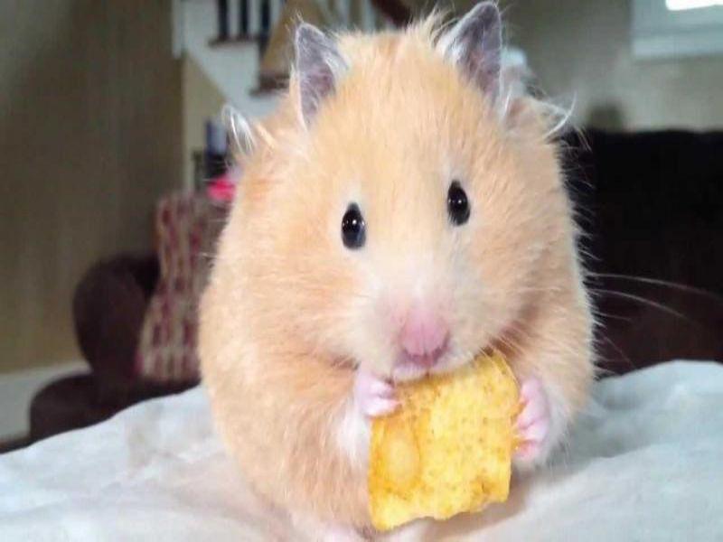 chuot-hamster-an-gi-thuc-an-cho-hamster