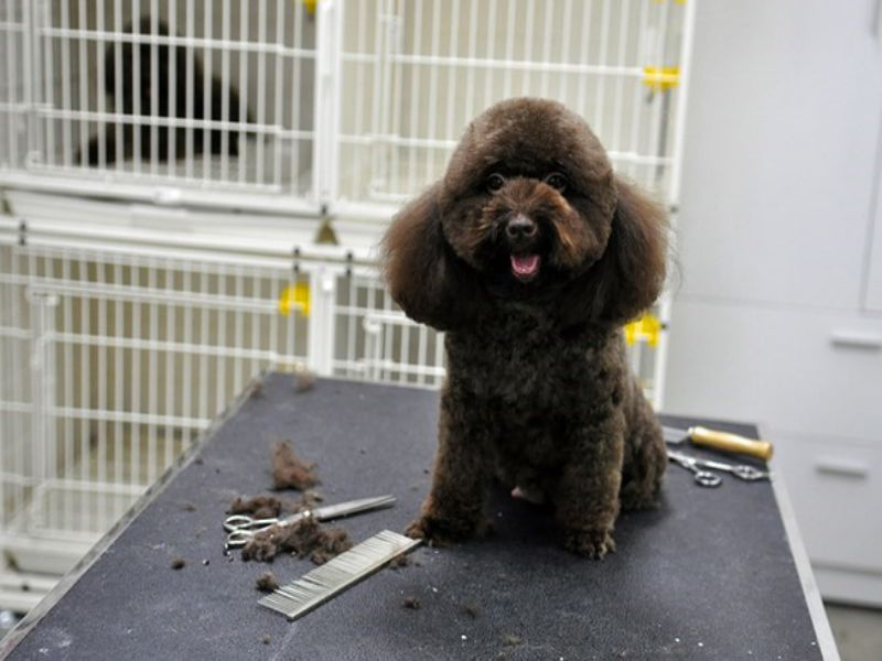 tim-kiem-dia-chi-spa-cat-tia-long-cho-poodle-tai-ha-noi