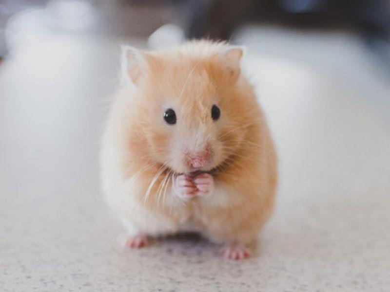 tong-hop-ve-cach-nuoi-chuot-hamster-ai-cung-nen-biet