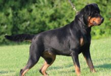 cho-rottweiler-gia-bao-nhieu