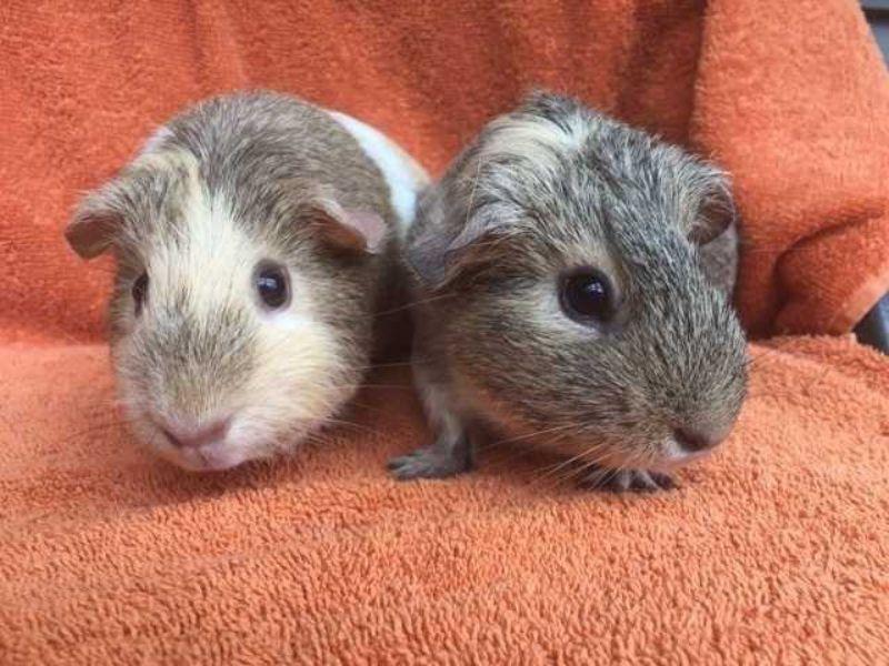 guinea-pig-la-con-gi-mua-guinea-pig-o-dau