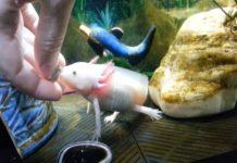 mua-ca-axolotl-ky-giong-axolotl-o-dau-gia-bao-nhieu