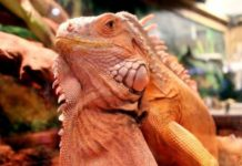 cac-cua-hang-ban-iguana-baby-rong-nam-my-gia-re-ha-noi