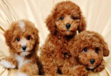 cach-nuoi-cho-poodle-2-thang-tuoi