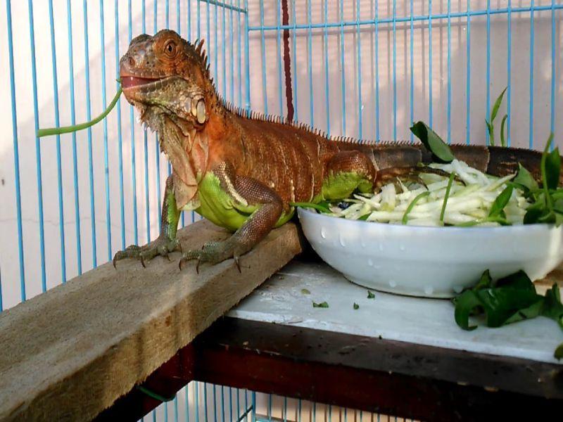 cach-nuoi-iguana-baby-rong-nam-my