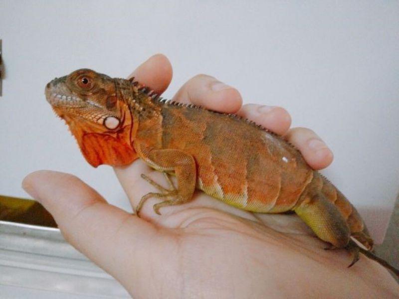 gia-iguana-baby-gia-ban-rong-nam-my-cac-loai