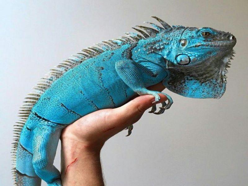 iguana-la-con-gi-cua-hang-ban-ky-nhong-iguana