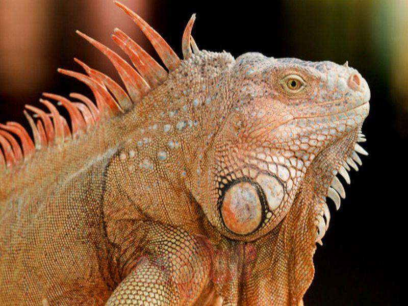 iguana-rong-nam-my-an-gi-thuc-an-cho-rong-nam-my-iguana