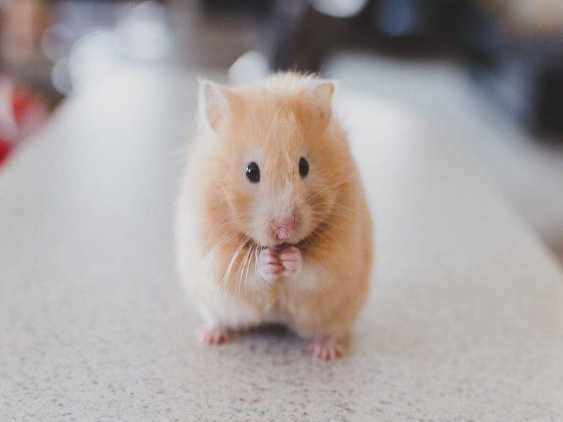 nuoi-chuot-hamster-co-bi-benh-khong