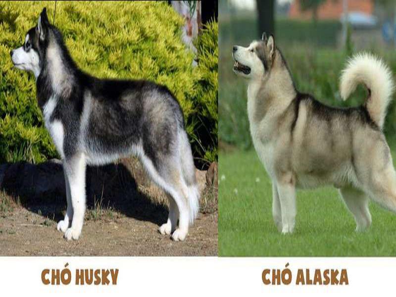cach-phan-biet-cho-alaska-va-husky-3